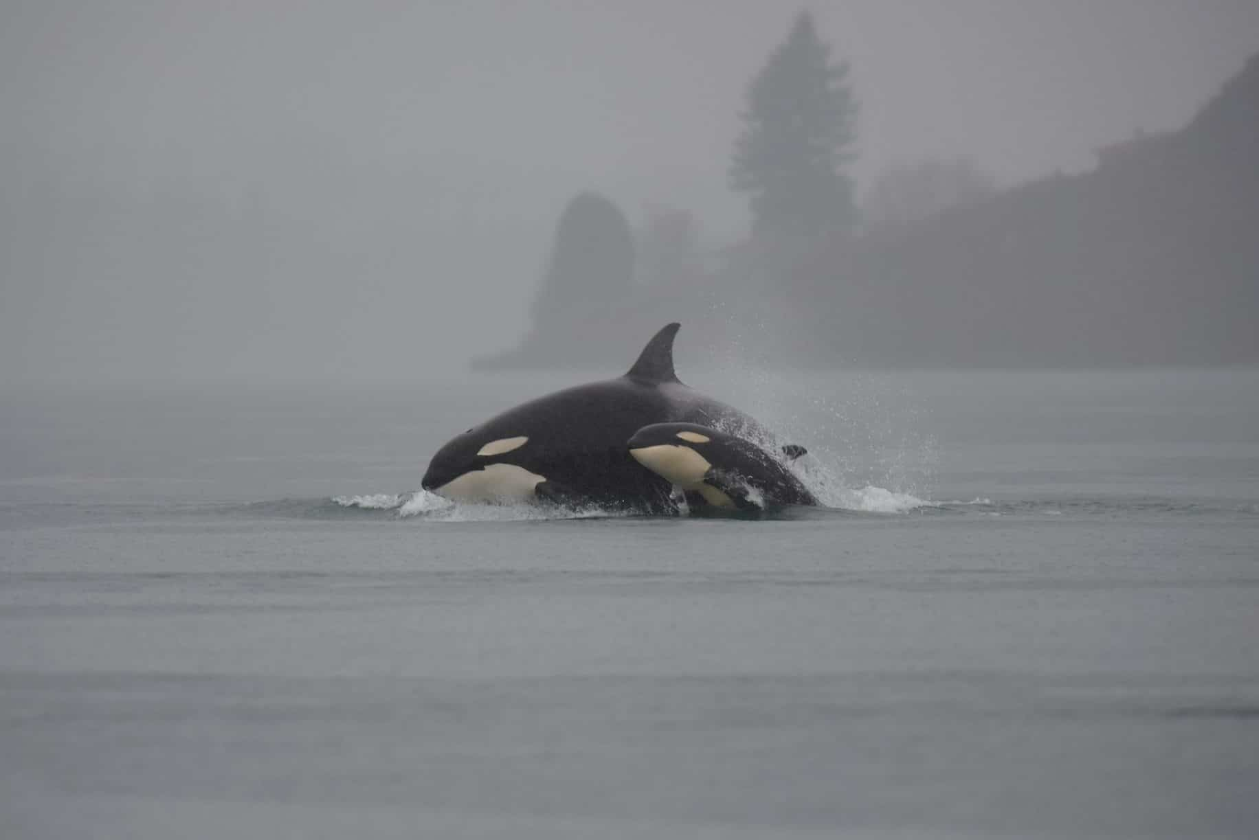 U.S. Navy, state leaders at odds over proposal that could affect Washington's orcas