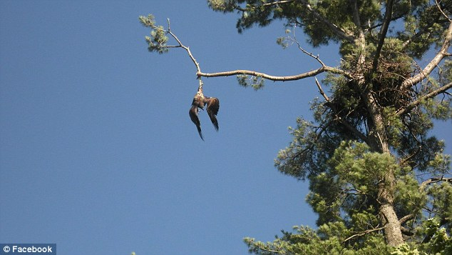 Remember When: Army Vet Frees Trapped Bald Eagle Just Before Independence Day After Gov't Gives Up Featured