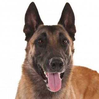 Belgian_Malinois_Andrews_head_resized