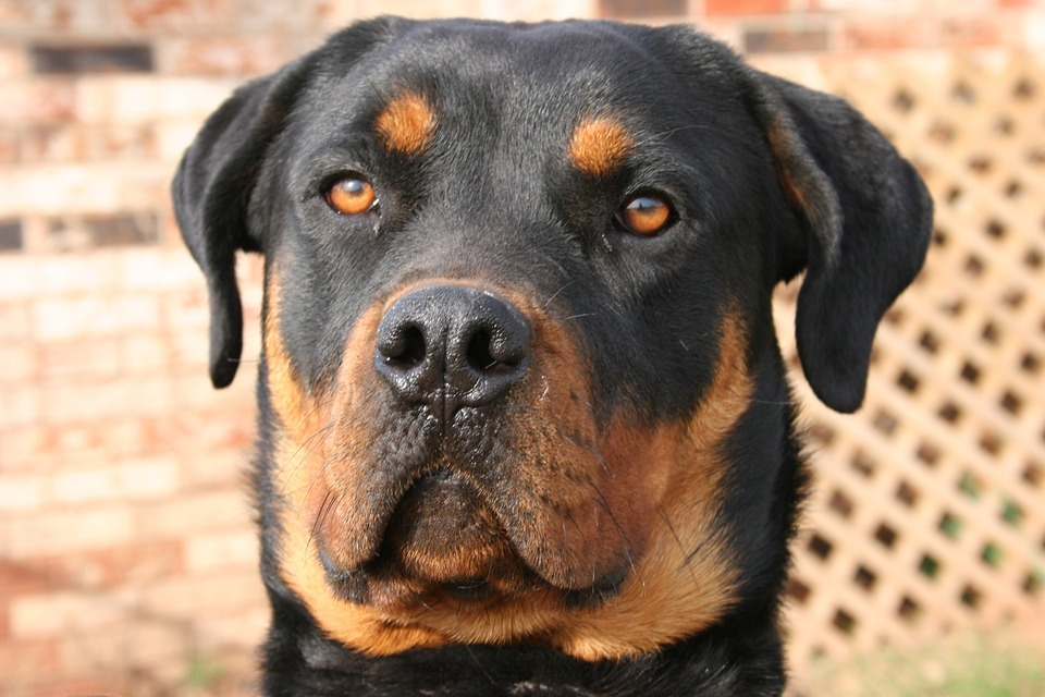 Breed Rottweiler Pet Hound Dog Canine Domestic