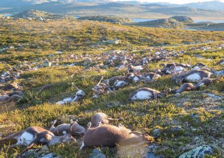 323 Reindeer Killed In Bizarre Mass Death Caused By Lightning Featured News World