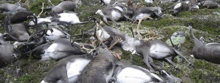 323 Reindeer Killed In Bizarre Mass Death Caused By Lightning Featured