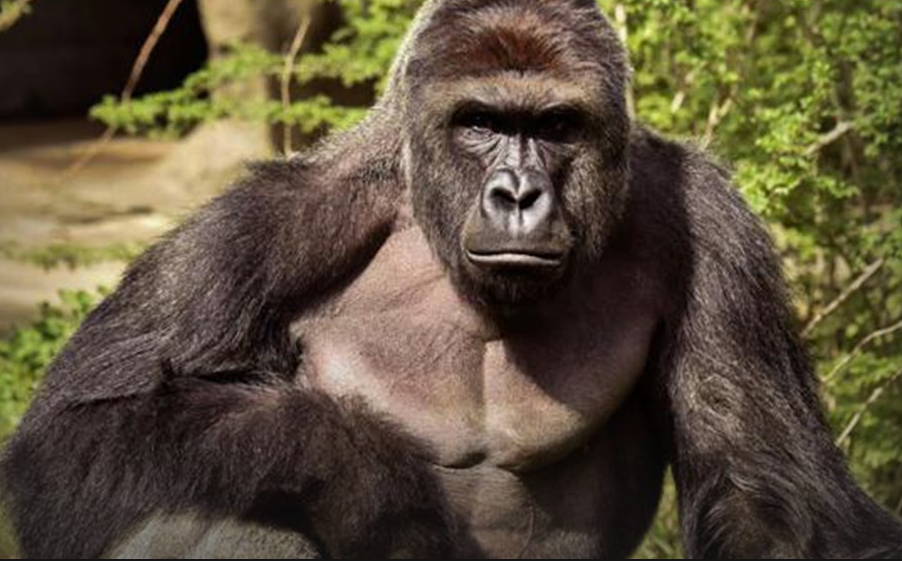 Cincinnati Zoo Pleads With Public To Stop Using Gorilla Harambe Memes – Thousands More Appear Featured