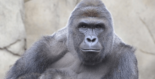 Screen Shot 2016 09 27 at 12.49.49 PM 2 - Here Is How The Internet Remembered Harambe The Gorilla One Year After His Death