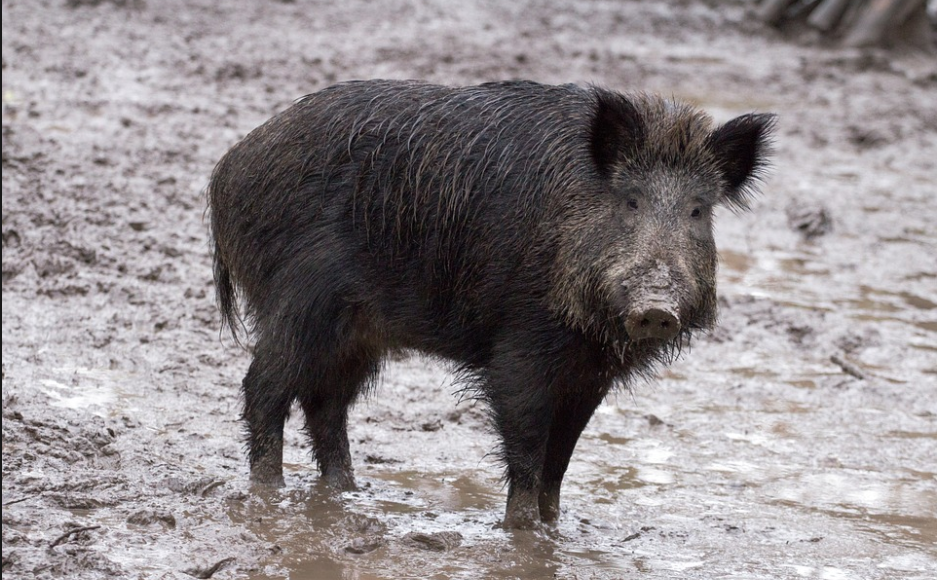 Report: Three ISIS Militants Killed By Herd Of Stampeding Wild Boars Featured