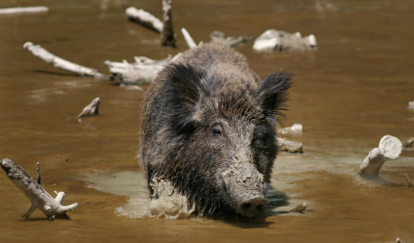 Stampeding Wild Boars Reportedly Kill 3 ISIS Fighters In Northern Iraq Featured