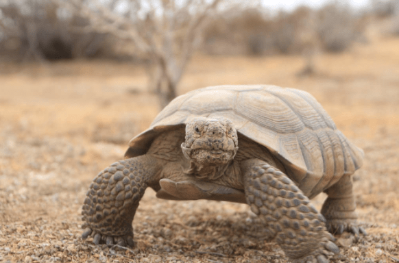Marines Have Permanently Relocated 900+ Endangered Turtles From Twentynine Palms Featured