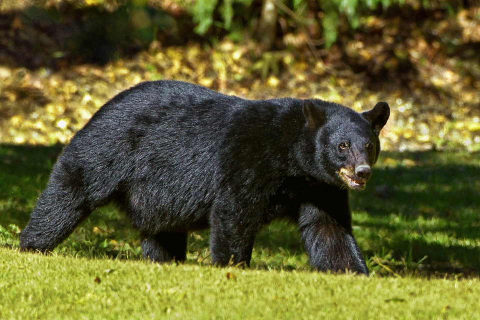 Japanese Fisherman Fights Off Black Bear With Karate Skills Featured