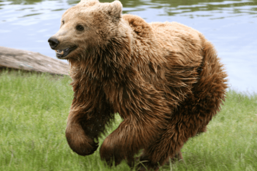 brown bear - 11-year-old boy armed with shotgun saves fishing party from charging bear