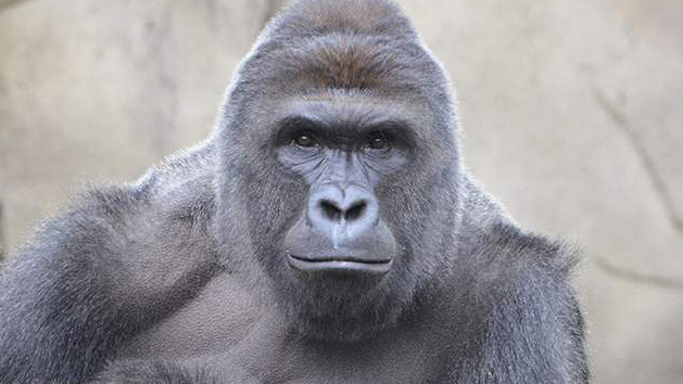 No Charges Against Mother Of Child That Fell Into Gorilla Enclosure Featured